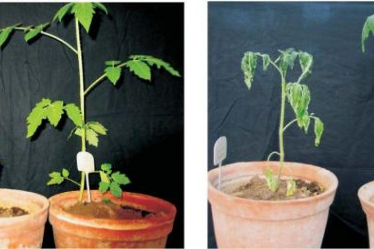 Diseased tomato plants (Experiment 1) on 35th day from