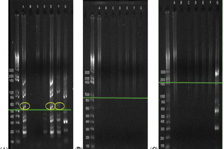 Agarose gel electrophoresis profiles of PCR products amplified using primers (A) (Gentamicin, 616 bp) Tn1696 aacC1 F and Tn1696 aacC1 R., (B) (Kanamycin, 944 bp) Tn903 aph F and Tn903 aph R. and (C) (Tetracycline, 1996 bp) Tn10 tetRA F and Tn10 tetRA R.