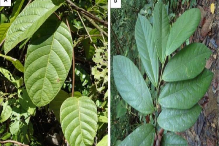 Leaf branch of medicinal plants with the optimum Relative Frequency of Citation values
