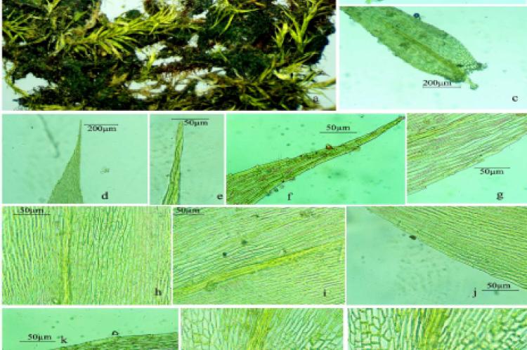 Amblystegium serpens (Hedw.) Schimp. (Amblystegiaceae: Bryophyta) from Indian Peninsula