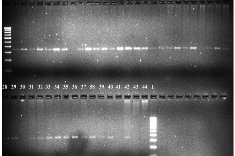 PCR amplification of genomic DNA from 40 sesame genotypes and its diploid wild taxa with primer Pto-kin1IN.