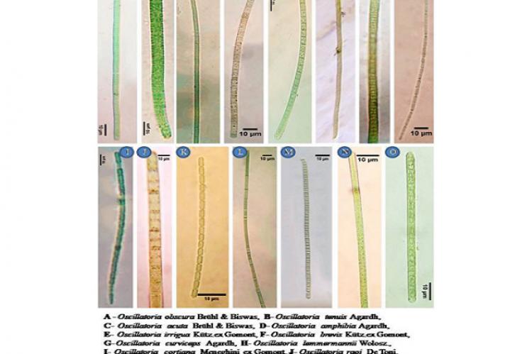 Microphotographs of Freshwater Filamentous Cyanobacteria