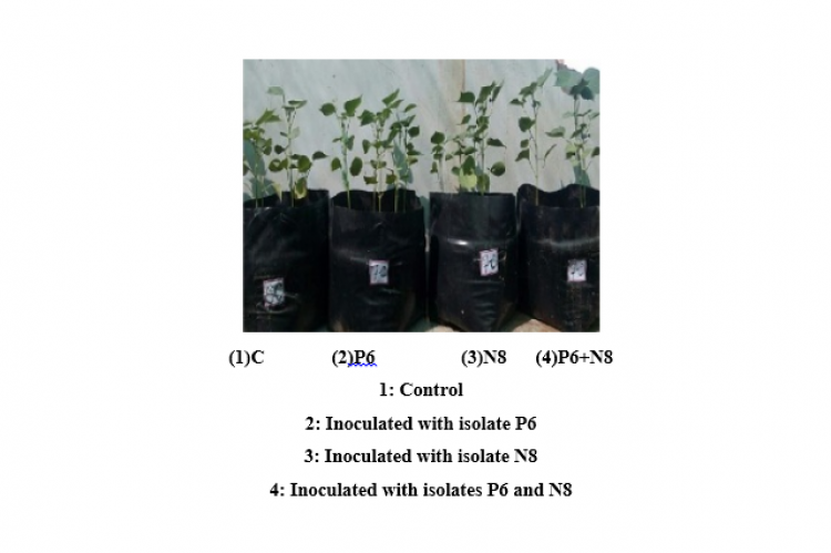 Figure 4: Inoculation effects on Cotton Plant growth