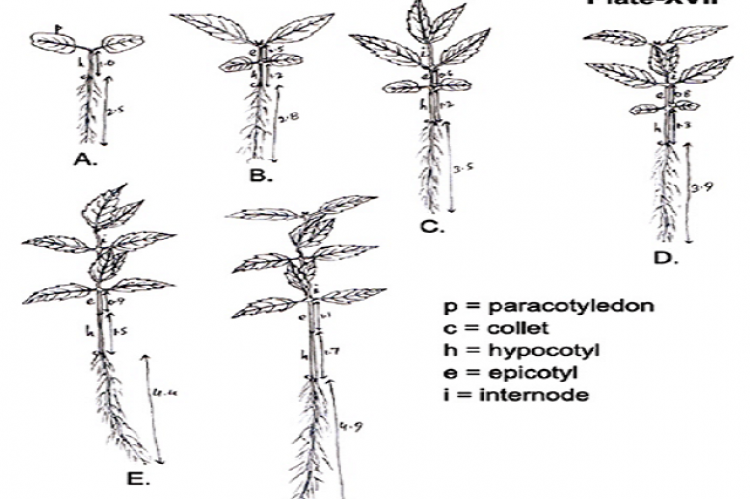Sedling of Leucas nutans (Roth.) spreng