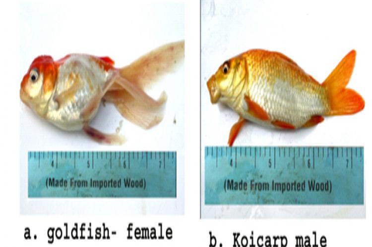 a. goldfish- female b. koicarp male