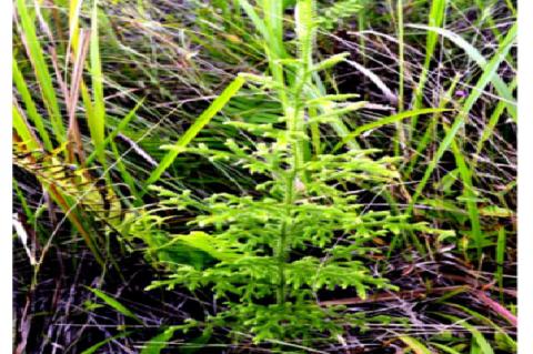 Habit of Lycopodiella cernua (L.) J. Sm. (N 07°52.72 E 125°04.06) in Mt. Musuan, Bukidnon, Philippines.
