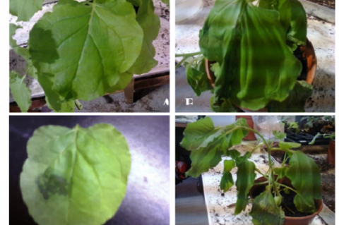A-D Symptoms on bean (Phaseolus vulgaris) plants after mechanical inoculation with isolate of Tobacco mosaic virus (TMV). (A) Bean plant just after inoculation (B) Bean showing wilting after 3days of inoculation (C) Leaf showing necrotic lesion (D) wilted plant after one week of inoculation.