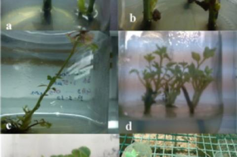 Micropropagation of Rosa hybrida