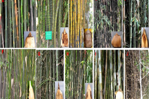Bambusa sp. with culm sheath from FRI, Dehradun (Uttarakhand)