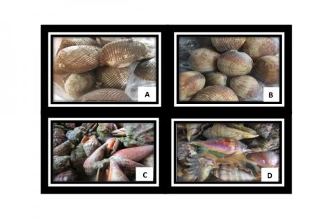 Figure 2: Selected mollusks collected from Guang-guang, Pujada Bay, Davao Oriental, Philippines: A. A. maculosa (Reeve, 1884), B. A. puerpera (Linnaeus, 1771), C. C. urceus, (Linnaeus, 1758), D. L. lambis (Linnaeus, 1758).