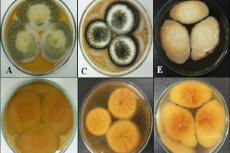 Colony morphology of (A, B) A. tamarii, (C, D) A. niger and (E, F) A. terreus on PDA after 1 week of incubation