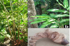 Photographs of H. conoidea (a) plant with fruits, (b) leaves and (c) rhizome